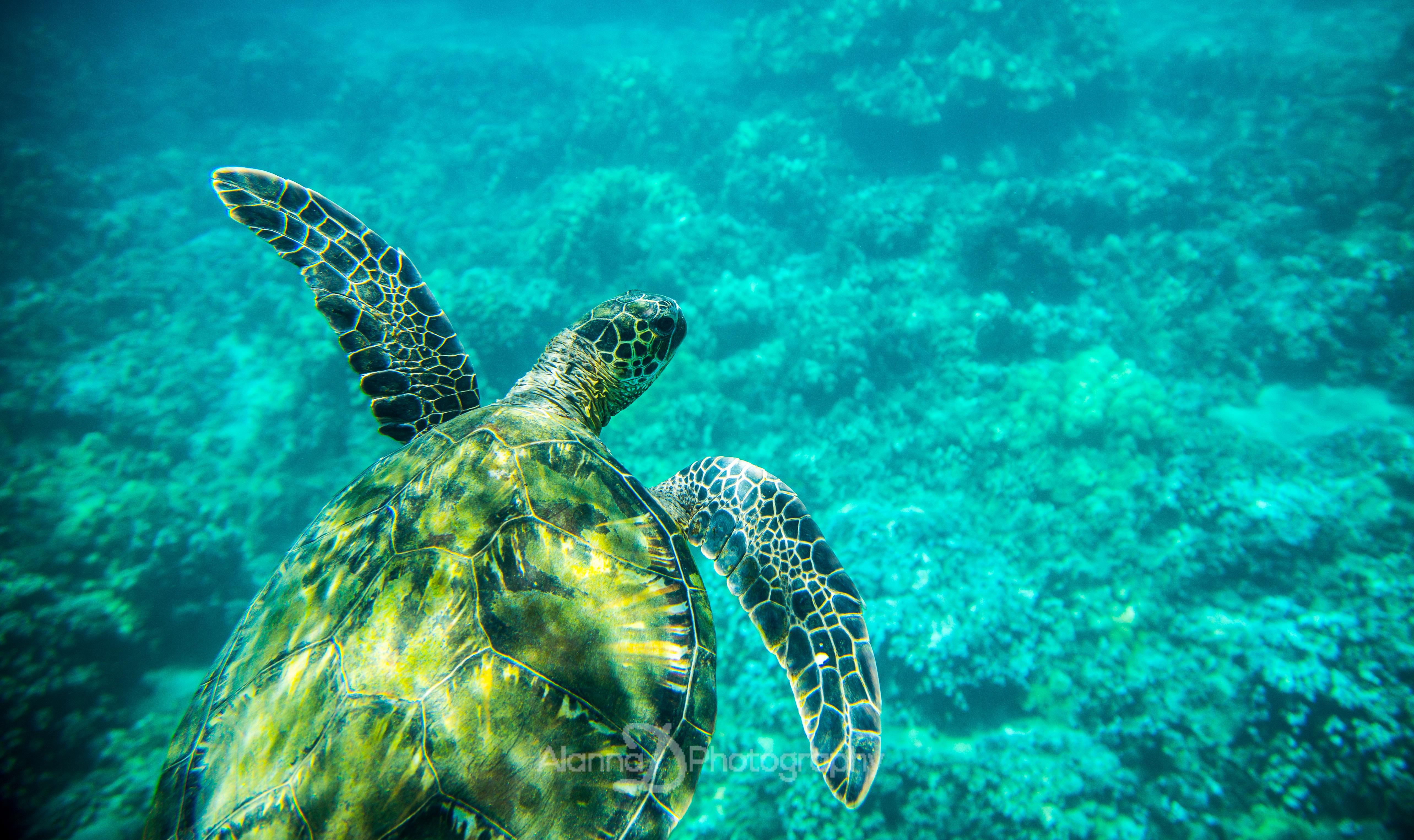Green Sea Turtle Maui - Alanna D Photography