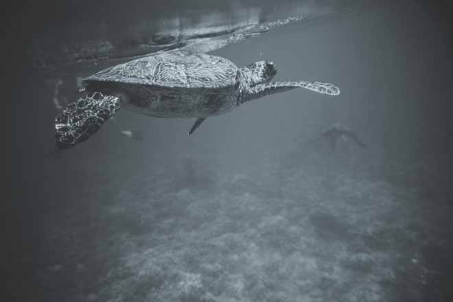 Sea Turtles - Alanna D Photography