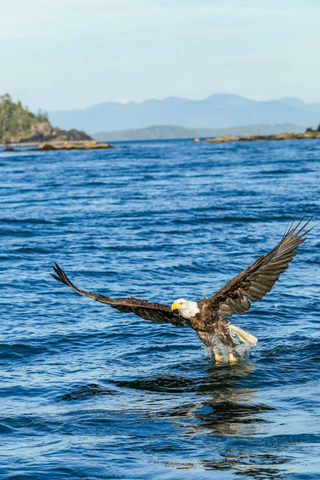 Bald Eagle Fishing in Ucluelet - Alanna D Photography