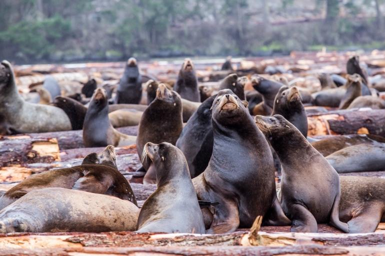 Nanaimo Sea Lion Migration
