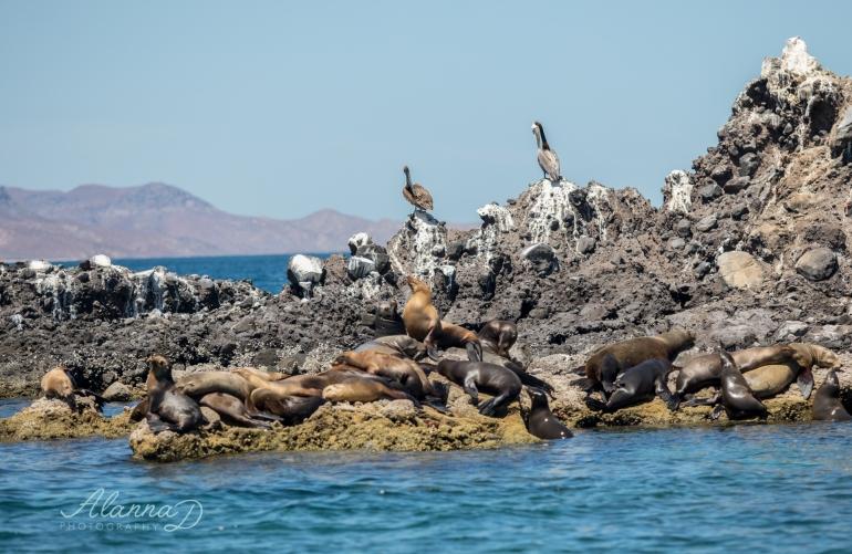 Sealion Snorkle Tour La Paz Mexico - Alanna D Photography